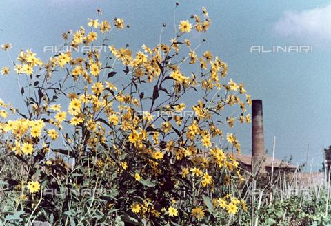 BVA-F-004596-0000 - Yellow daisies