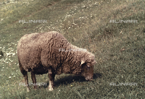 BVA-F-005990-0000 - Sheep