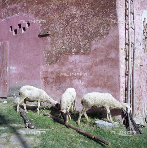 BVA-S-C10010-0007 - Lambs, San Polo in Chianti