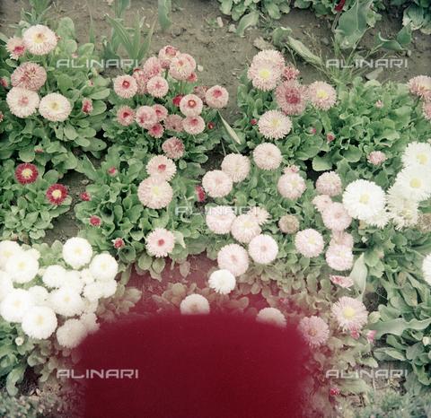 BVA-S-C10036-0016 - Flowers, Cecina