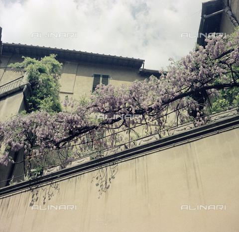 BVA-S-C10038-0014 - Wisteria, Florence