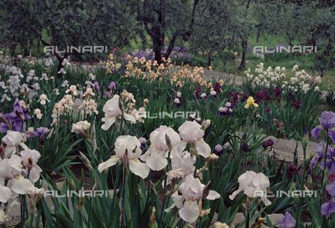 BVA-S-C1033A-0018 - Iris garden, Florence