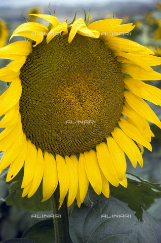 CAL-F-006300-0000 - Close-up of a sunflower