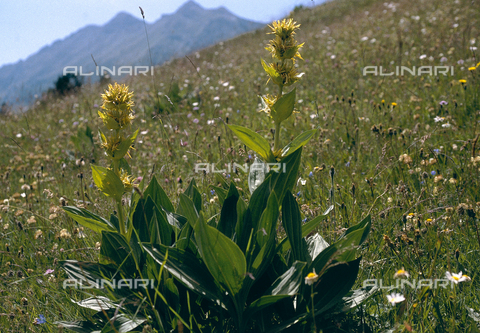 CAL-F-006308-0000 - Genziana Lutea in flower, commonly known as greater gentian