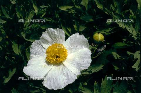 CAL-F-006312-0000 - Close-up of a Cistus flower