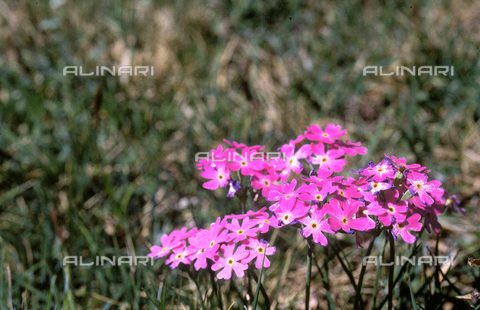 CAL-F-006335-0000 - Detail of a field with Primula Farinosa (Birdseye Primrose)