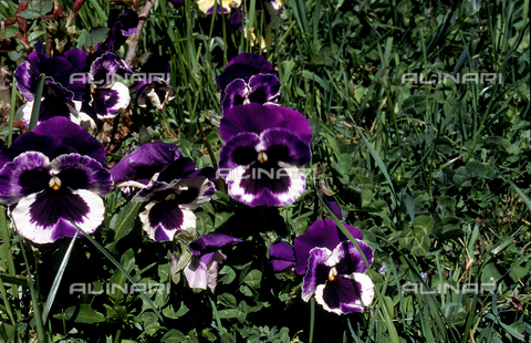 CAL-F-006337-0000 - Tri-colored Violets, commonly known as Pansies