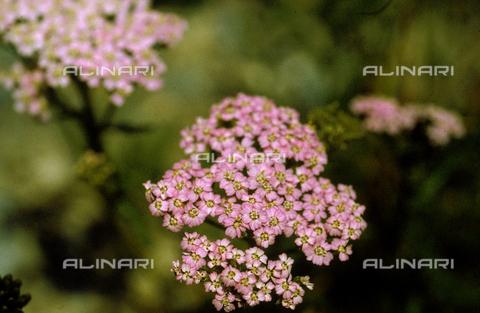 CAL-F-006338-0000 - Pink Achillea Nana flowers