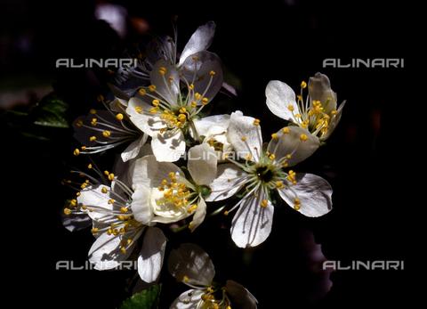 CAL-F-006340-0000 - Plum flowers