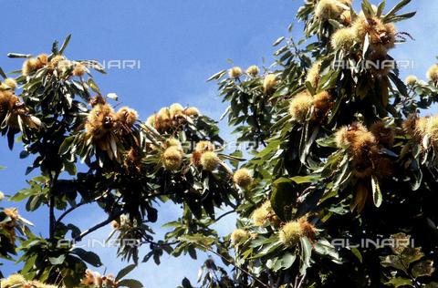 CAL-F-006341-0000 - Rami di un albero di castagne. Parco naturale del Treja, Calcata, Viterbo - Data dello scatto: 1989-1991 - Archivi Alinari, Firenze