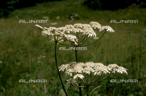 CAL-F-006342-0000 - Field with Achillea Millefolium flowers