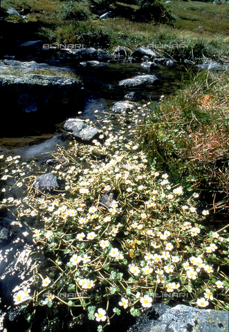 CAL-F-006343-0000 - View of a mountain stream, along which some Ranunculus Aquatilis, commonly known as Whitewater Crowfoot, are growing