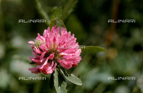 CAL-F-006345-0000 - Red Clover flower