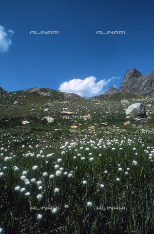 CAL-F-006346-0000 - Scene of a mountain field with some Eryophorum flowers