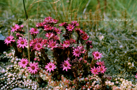 CAL-F-006347-0000 - Sempervivum Montanum flowers