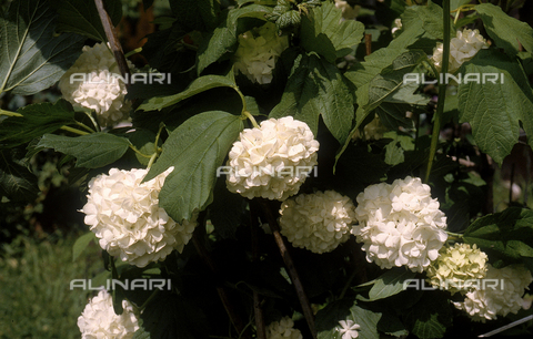 CAL-F-006349-0000 - Viburnum Opulus flowers, known as Hydrangeas in English