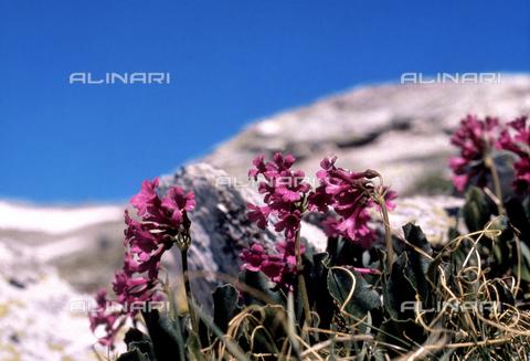 CAL-F-006352-0000 - Primula Hirsuta (Red Alpine Primrose)