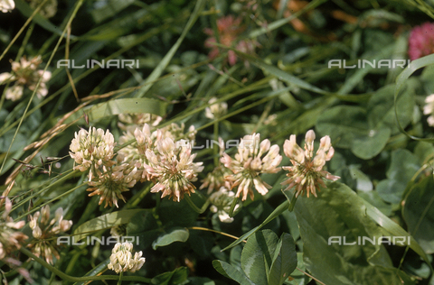 CAL-F-006353-0000 - White Alpine Clover flowers