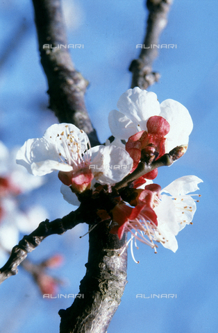 CAL-F-006355-0000 - Apricot branch in bloom