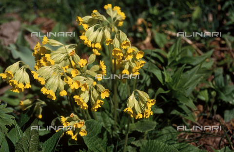 "CAL-F-006357-0000 - Primula auricola, commonly called ""bear's ears"""