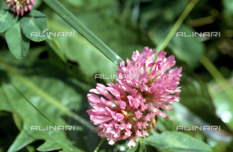 CAL-F-006360-0000 - Red clover