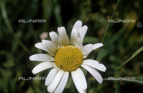 CAL-F-006362-0000 - Daisy