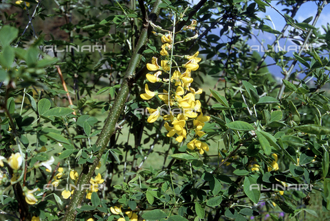 CAL-F-006363-0000 - Laburnum anagyroides flowers, commonly know in English as Laburnum