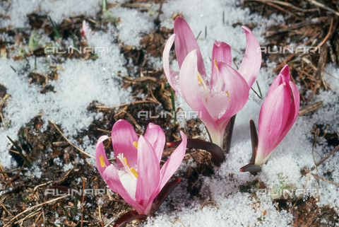CAL-F-006365-0000 - Crocus Albiflorus flowers in the snow