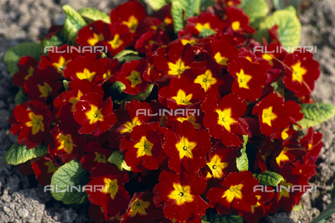 CAL-F-006366-0000 - Flowers of the Primula Vulgaris species