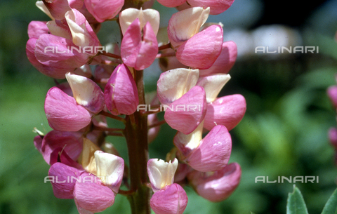 CAL-F-006368-0000 - Lupin blossoms