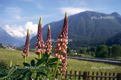 CAL-F-006369-0000 - Mountain landscape with some Lupine flowers in the forefront