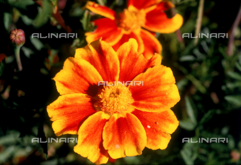 CAL-F-006372-0000 - Tagetes Patula flower