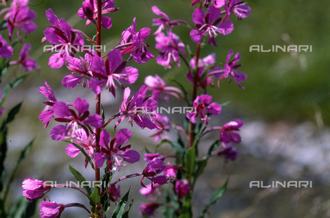 CAL-F-006373-0000 - Epilobium Augustipholiom flower, commonly called Willowherb