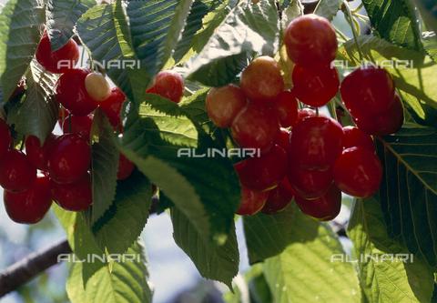CAL-F-006375-0000 - Ramo di ciliegio con frutti - Data dello scatto: 1990 ca. - Archivi Alinari, Firenze