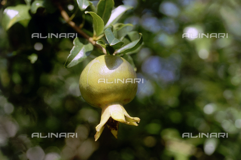 CAL-F-006376-0000 - Ramo di melograno con frutto - Data dello scatto: 1990 ca. - Archivi Alinari, Firenze