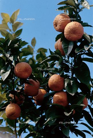 CAL-F-006377-0000 - Ramo di arancio con frutti - Data dello scatto: 1990 ca. - Archivi Alinari, Firenze