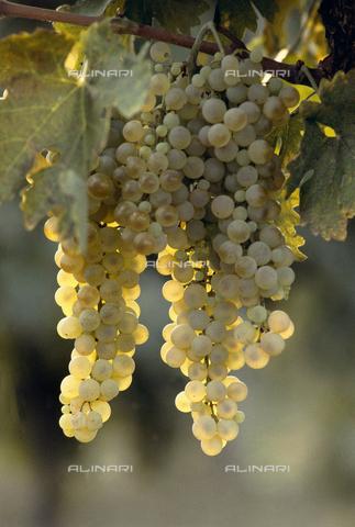 CAL-F-006381-0000 - Grappoli di uva bianca matura - Data dello scatto: 1990 ca. - Archivi Alinari, Firenze