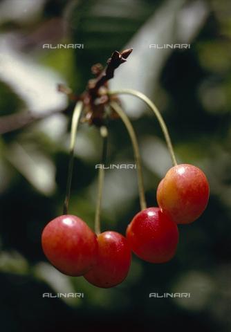 CAL-F-006382-0000 - Piccoli frutti del ciliegio - Data dello scatto: 1990 ca. - Archivi Alinari, Firenze