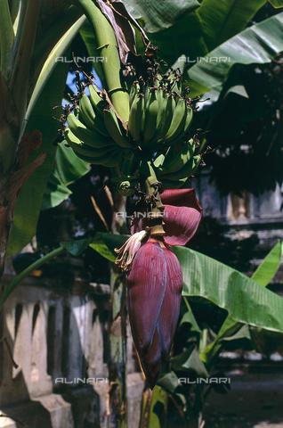 CAL-F-006383-0000 - Albero di banano con frutti ancora acerbi - Data dello scatto: 1990 ca. - Archivi Alinari, Firenze