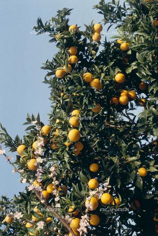 CAL-F-006388-0000 - Rami di albero di arancio con frutti maturi - Data dello scatto: 1990 ca. - Archivi Alinari, Firenze