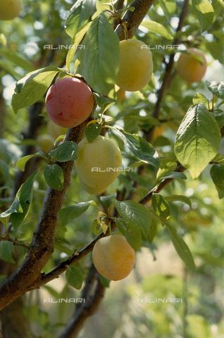 CAL-F-006389-0000 - Ramo di susino con frutti - Data dello scatto: 1990 ca. - Archivi Alinari, Firenze