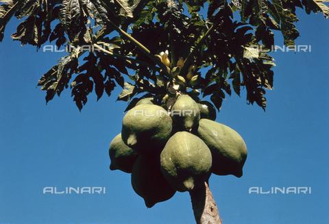CAL-F-006391-0000 - Particolare di albero di papaia con grossi frutti - Data dello scatto: 1990 ca. - Archivi Alinari, Firenze
