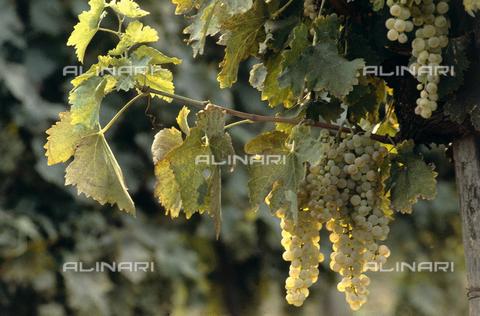 CAL-F-006393-0000 - Tralcio di vite di uva bianca con grappoli maturi - Data dello scatto: 1990 ca. - Archivi Alinari, Firenze