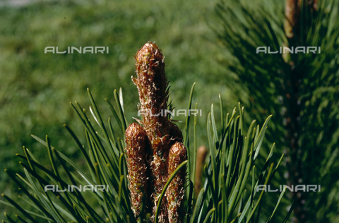 CAL-F-006396-0000 - Inflorescence of the Swiss mountain pine