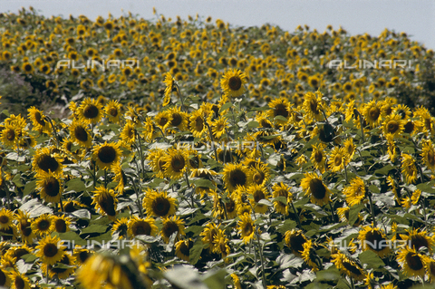 CAL-F-006403-0000 - A field of blooming sunflowers