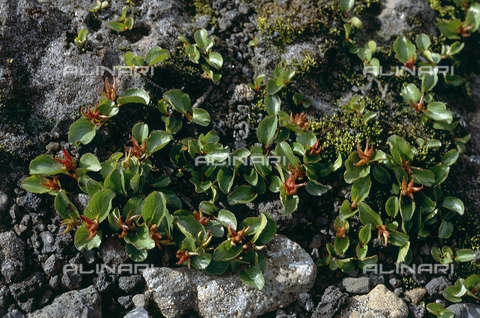 CAL-F-006408-0000 - Vegetation from the morainal plateau in Iceland