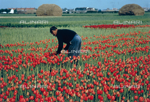 CAL-F-006409-0000 - Dutch flower-grower gathering tulips