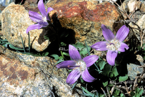 CAL-F-006411-0000 - Campanula Cenisia flowers growing between the rocks