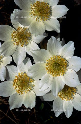 CAL-F-006416-0000 - Pulsatilla Alpina flowers