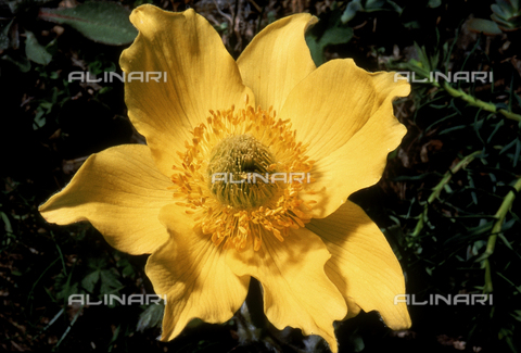 CAL-F-006420-0000 - Pulsatilla Alpina Sulphurea flower, also called Alpine Anenome in English